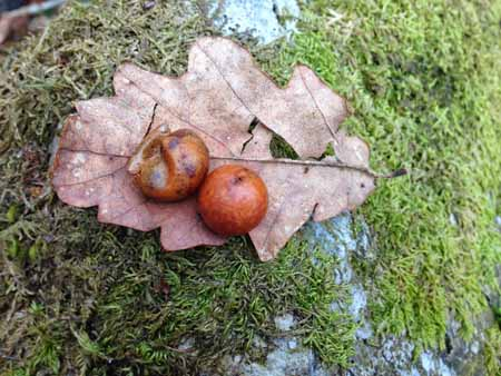 How to make ink from oak galls